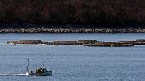 $13M for Cooke Aquaculture after infected salmon