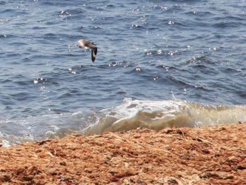 Bird flies over breaking wave