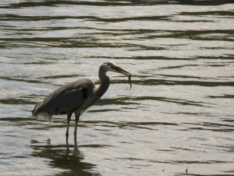 Great Blue Heron catches prey
