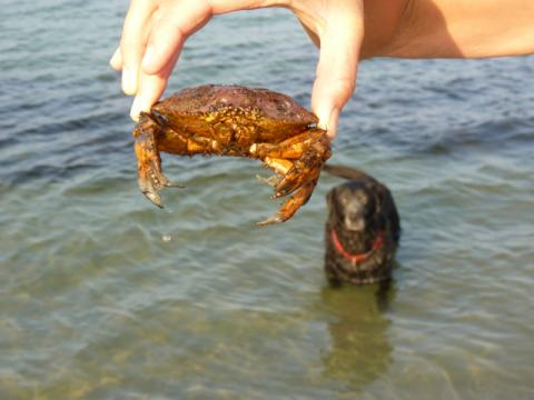 Crab and dog
